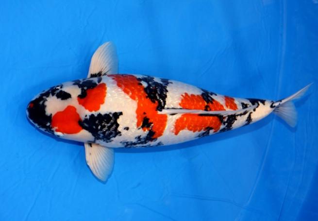 Bangun Komunitas Jual Ikan Koi
