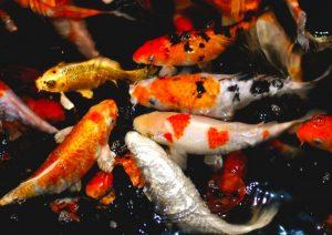 Mengembangbiakkan Ikan Koi Sendiri