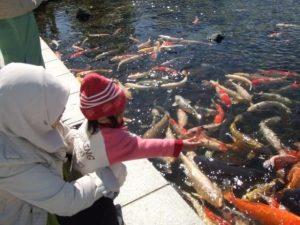 Jual Ikan Koi Yang Ada di Sekolah