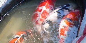 Online Jual Ikan Koi