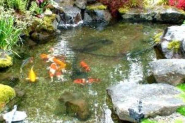 Warna Khas Ikan Hias Jual Bibit Ikan Koi