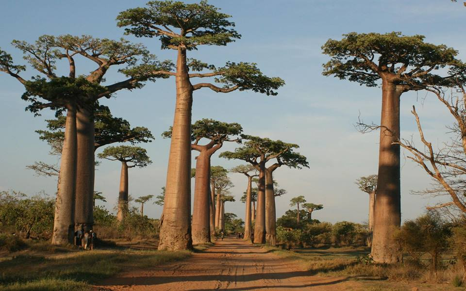 Budidaya Pohon Baobab