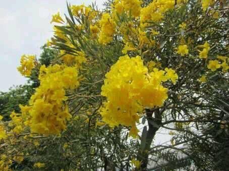 Jual Bibit Pohon Tabebuya Kuning Harga Murah
